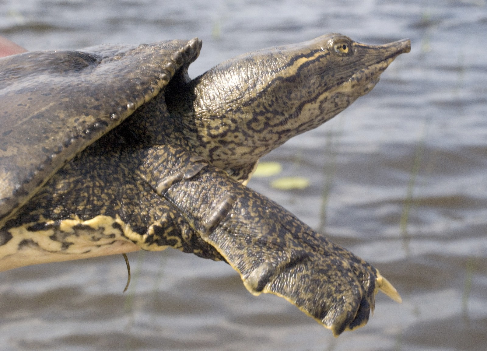 Softshell Turtle Food Functions Under These Problems